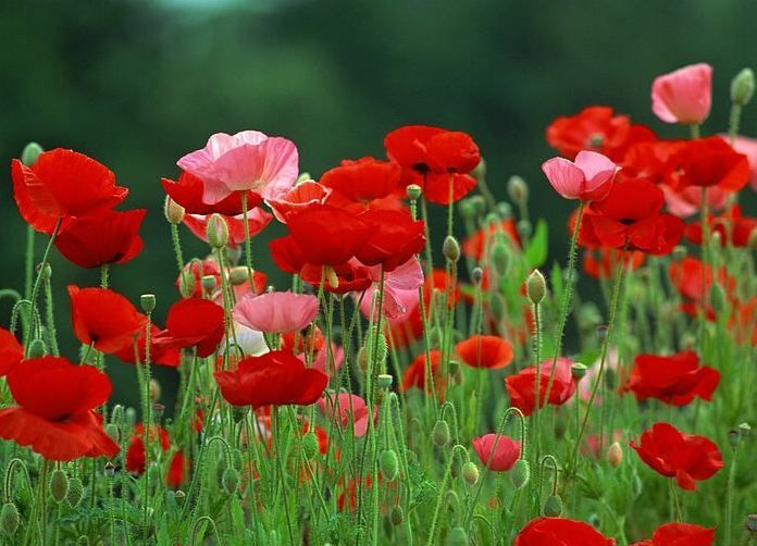 How to grow poppies from seed poppies pinterest gardens how to grow poppies from seed mightylinksfo