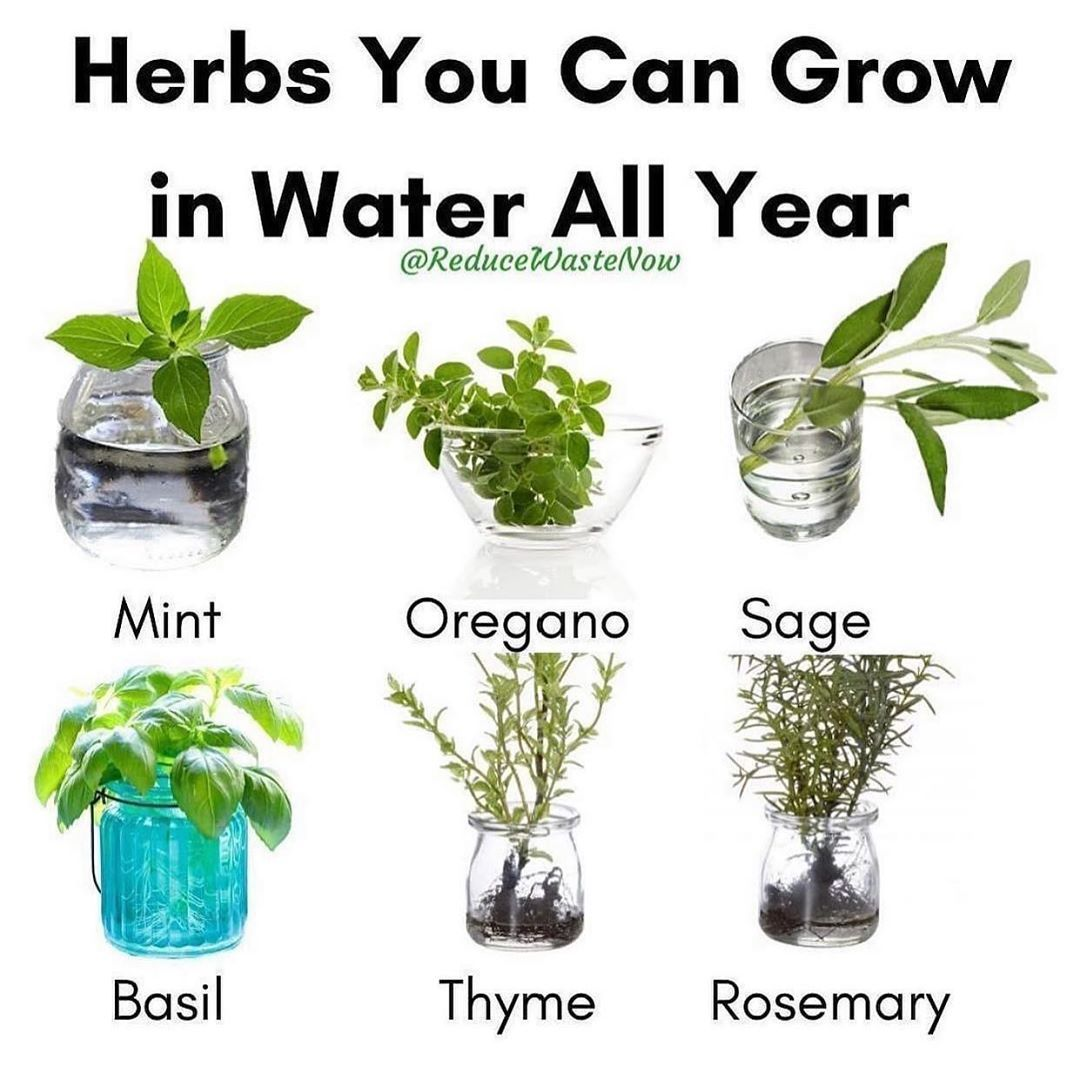 Along With The 6 Herbs In The Picture You Can Also Grow Stevia Lemon Balm Chives Cilantro Lavender And Marjoram In Water A Growing Stevia Buy Herbs Herbs
