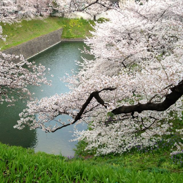 Cherry Blossoms Are In Full Bloom In Tokyo As Of Yesterday The 7th Of April 2012 In Chidorigafuchi In Central Tokyo