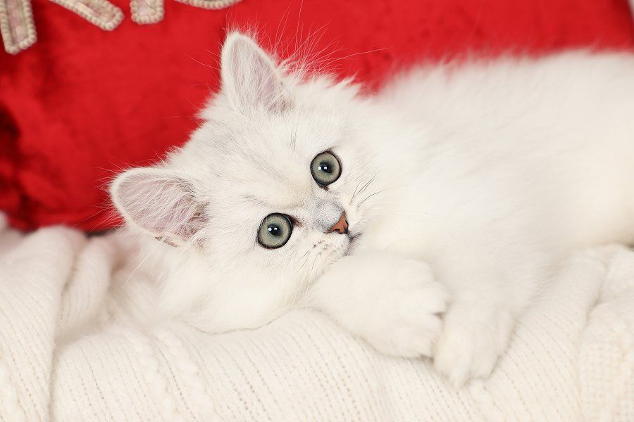 Polar Bear Currently Available Persian Kittens For Sale Persian Kittens Persian Kittens For Sale Kitten For Sale