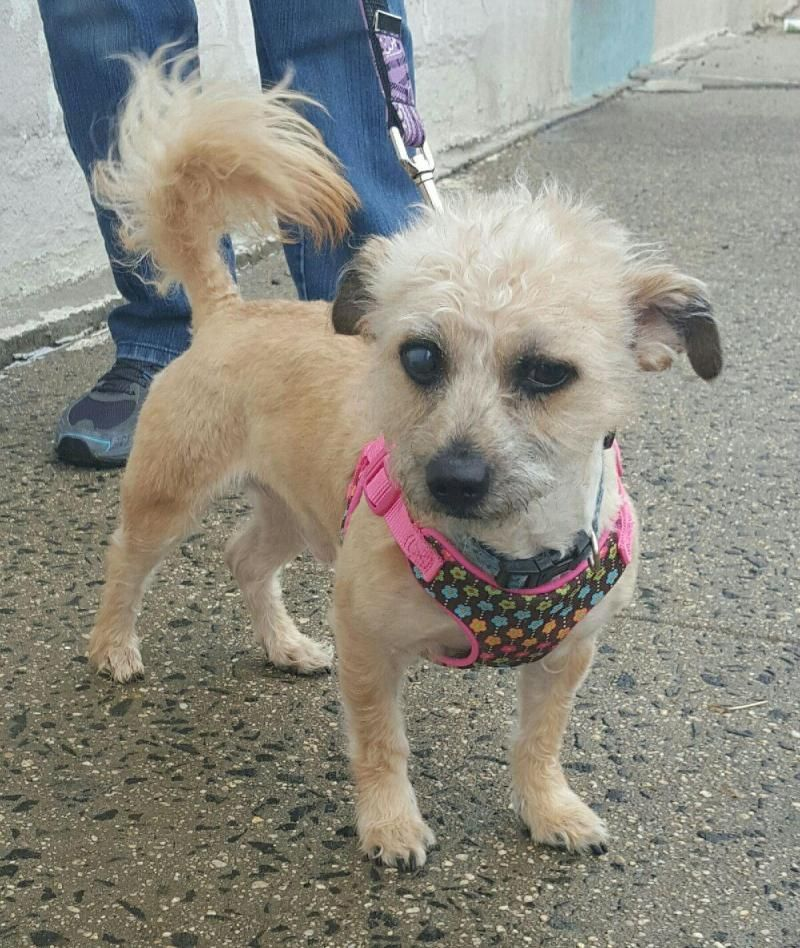 Adopt Mace on Cairn terrier, Terrier, Pet adoption