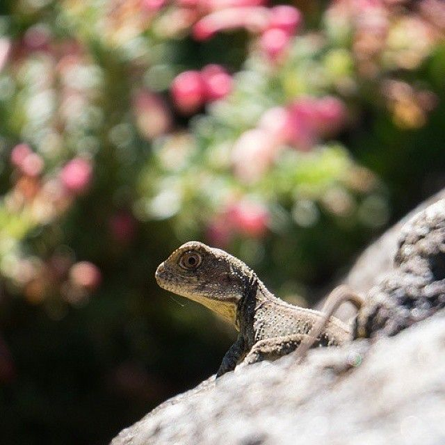 "Shhhhhh! Make sure you stay very still. You don't want to scare the weekend away do you?"" This water dragon in the rock garden of Australian National Botanic Gardens is just as excited for another weekend in Canberra as we are! Photo: Instagrammer @nanairo7716 #visitcanberra"