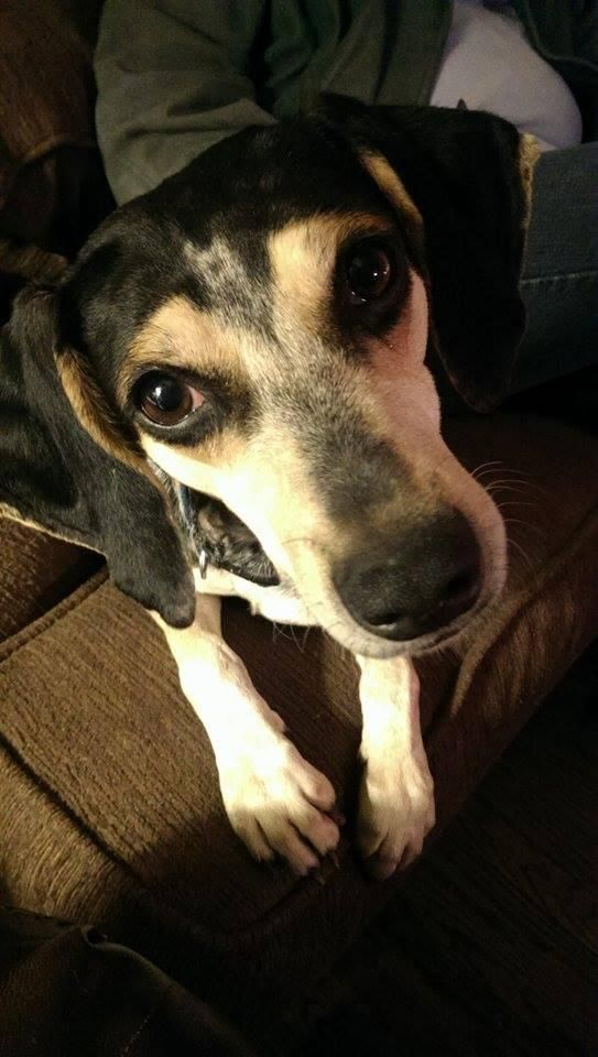 Adopt Coraline Hamilton On Petfinder Animal Rescue Bluetick Coonhound Coonhound