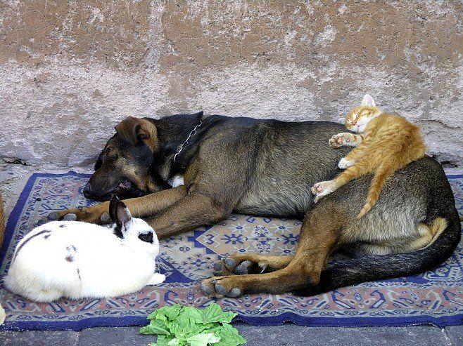 En kat, en hund og en kanin. Et umage, men smukt venskab. Hvem ville ikke gerne have sådan en trio?  #huskaniner www.kaninhaandbogen.dk