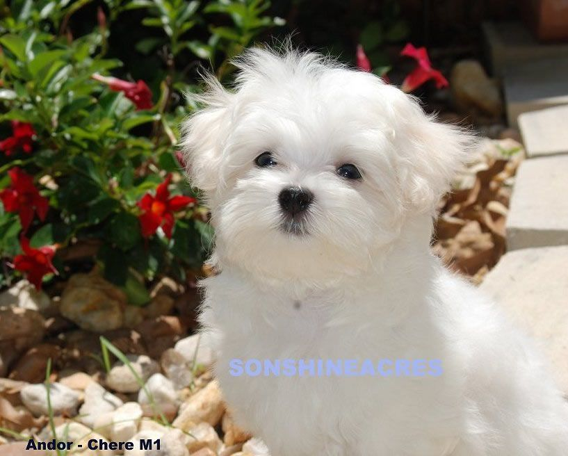 Maltese Puppies Maltese Breeders Maltese Puppies For Sal
