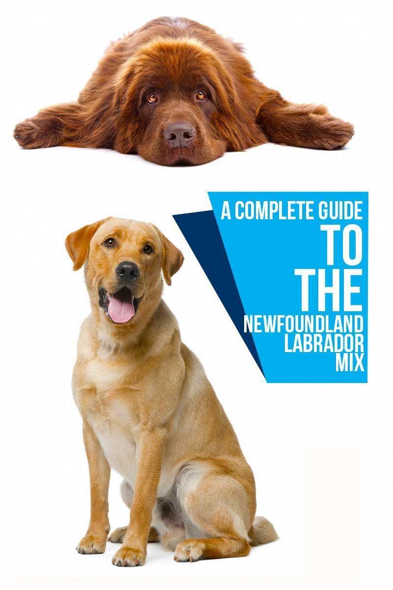 A complete guide to the newfoundland labrador mix dog