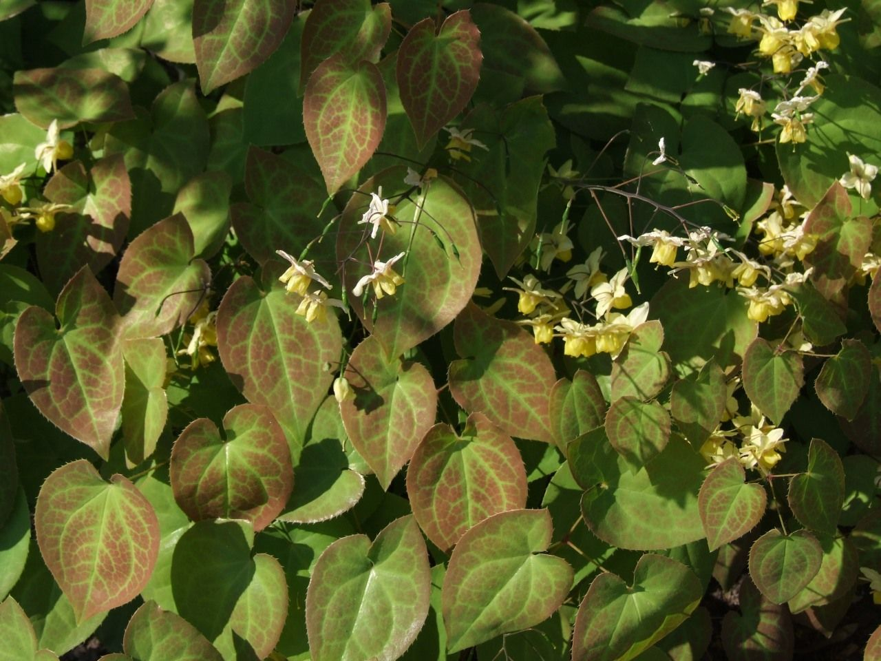 Epimedium Interesting Ground Cover With Heart Shaped Leaves And Small Yellow Flowers In Early Spring