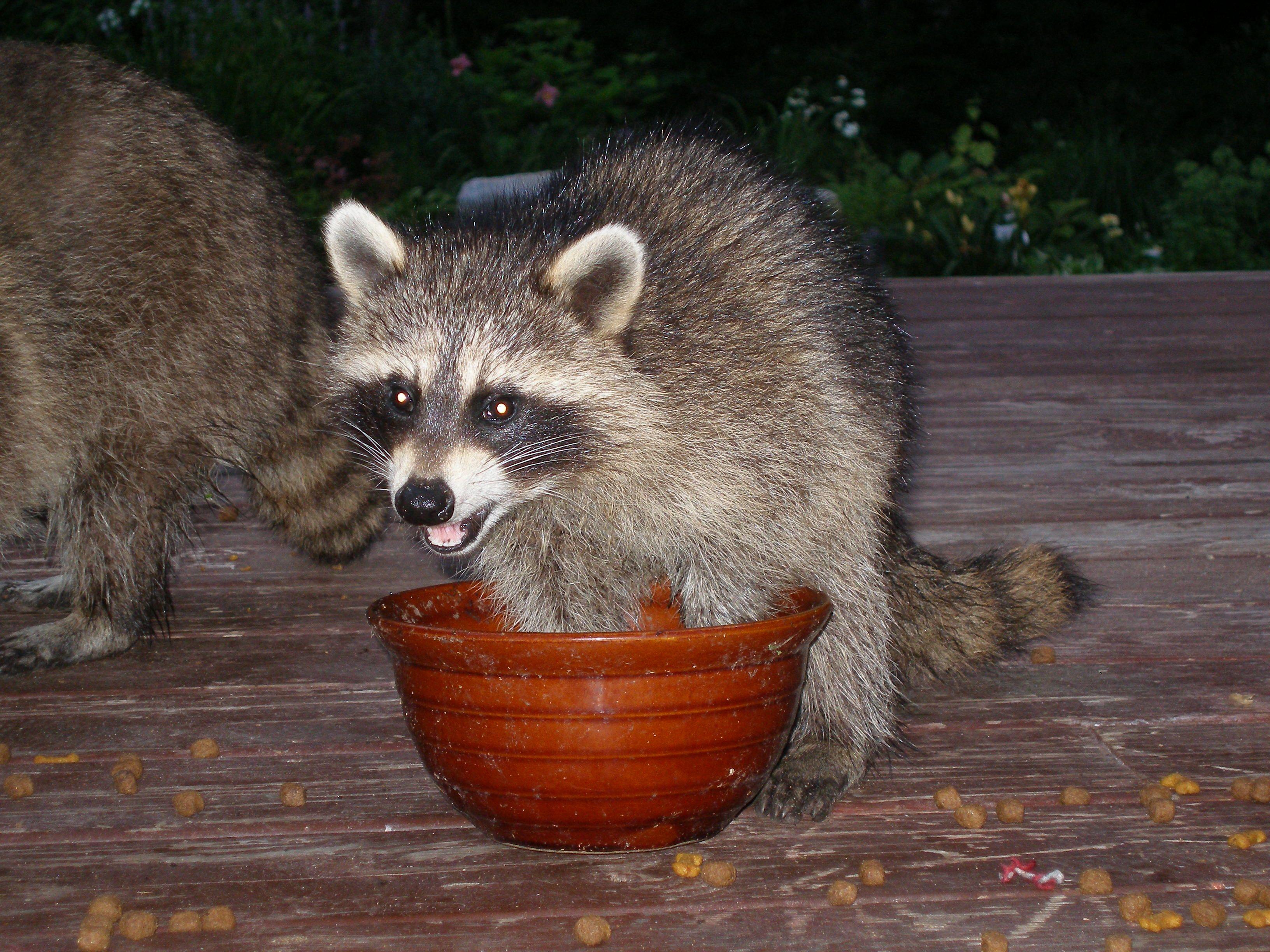 Greedy Raccoon Animals Fox