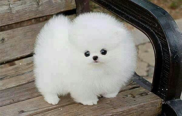 It S A Marshmallow Puppy So Cute Flipflopdogs Whitepuppy