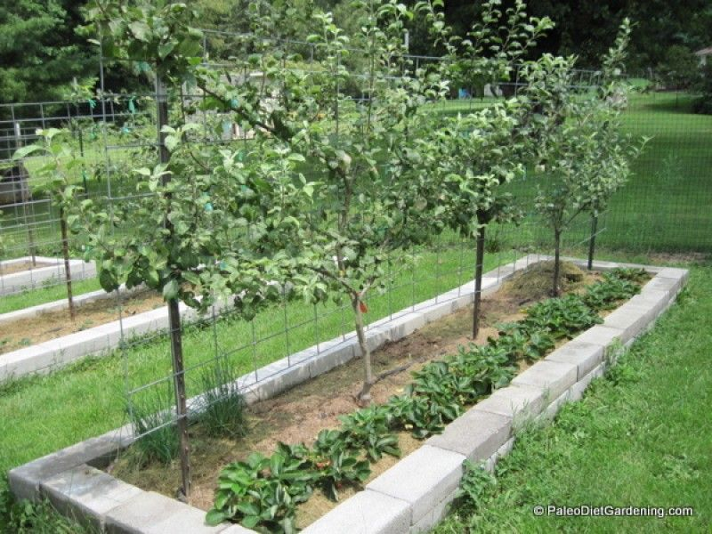 Raised garden bed with espalier apple trees and a row of ...