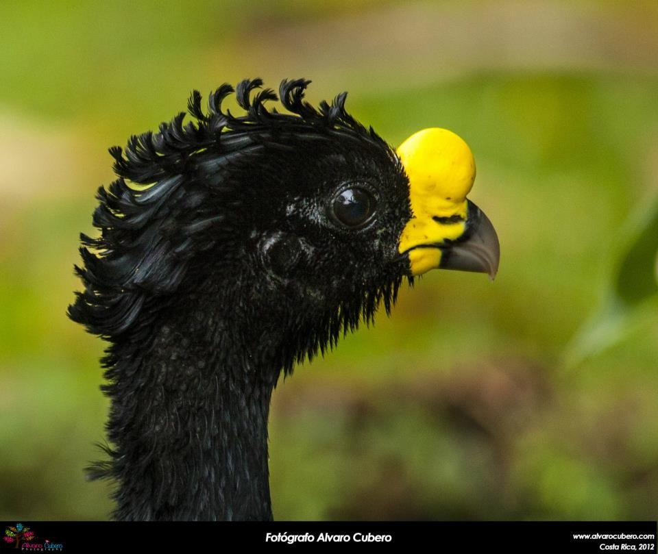 https://www.facebook.com/WonderBirds-171150349611448/ Curassow lớn (trống); Họ Cracidae; Costa Rica, Guatemala, Colombia và Honduras || Great curassow (male)(Crax rubra); IUCN Red List of Threatened Species 3.1 : Vulnerable (VU)(Loài sắp nguy cấp)