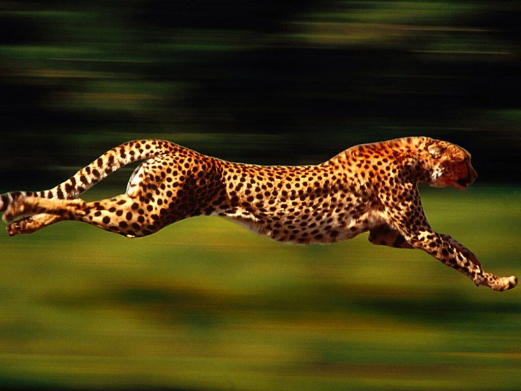 Cheetah - Full Sprint | Cheetah pictures, Animals wild, Animals beautiful