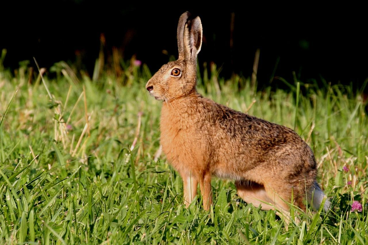 Lièvre Hare, Rabbit, Animals