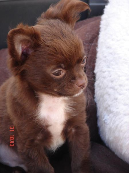 Chihuahuawelpe In Bayern Grossostheim Chihuahua Puppy Welpe Brown White Chihuahua Welpen Chihuahua Welpen Langhaar Welpen