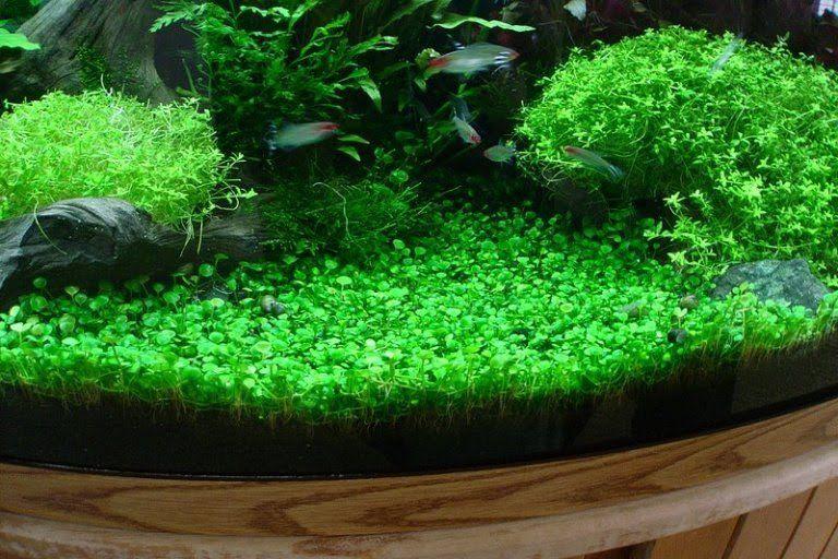 5 Of The Best Carpet Plants For Freshwater Custom Aquariums Acquario Pesce Piante