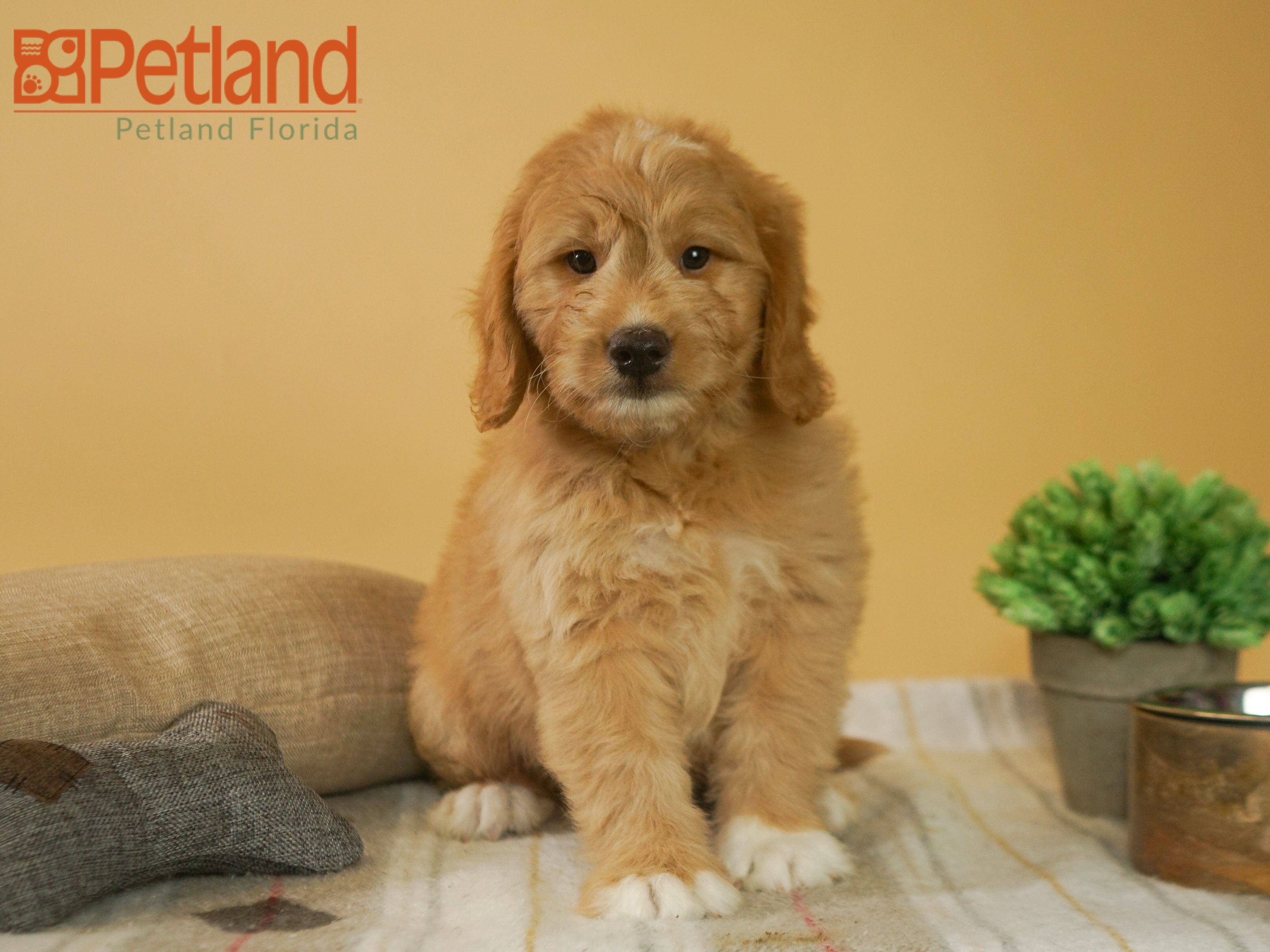 Puppies For Sale Puppies Mini Goldendoodle Puppies Mini Goldendoodle