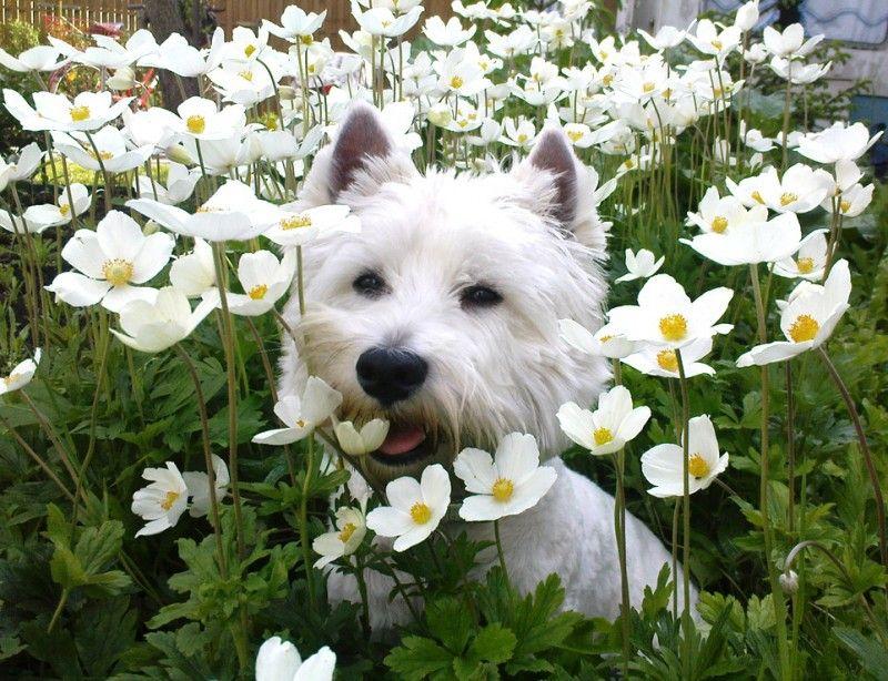 West Highland White Terrier Billy Unser Baby liebt Blumen er ist ...