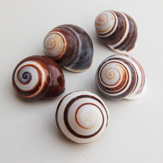 Chocolate Brown Swirl Land Snail - 4 pcs - Shell Supply - Hermit Crab -  Beach Wedding and Decor - Craft Supplies - Bulk Shells