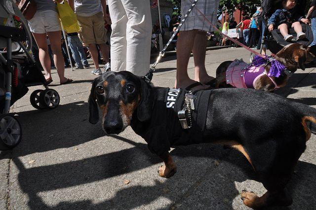 20120512 Dachshund Parade Rochester Ny Doxie Puppies Dachshund