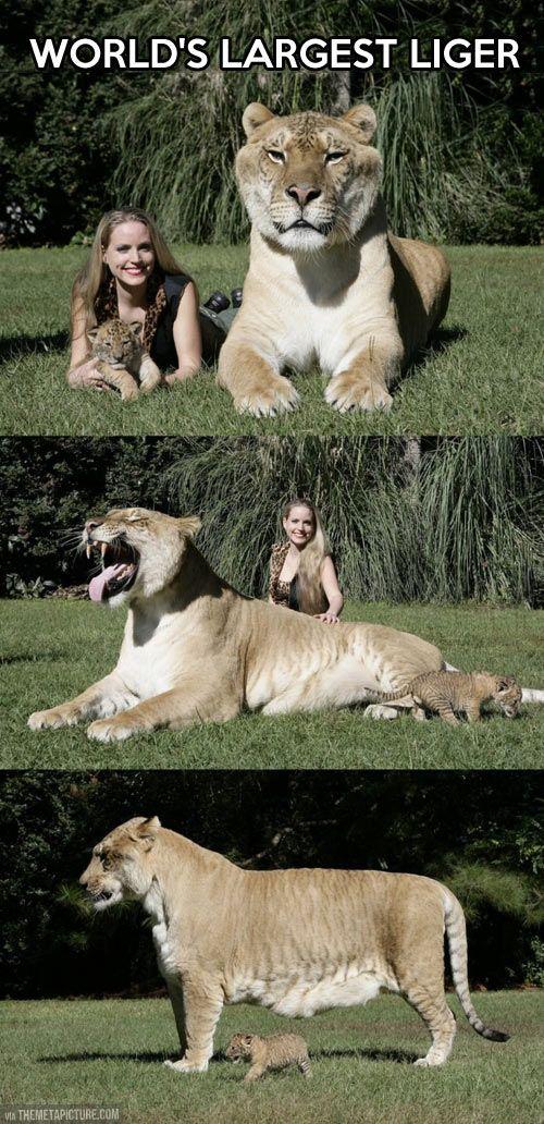 The World S Largest Liger Animals Beautiful Animals Cute Animals