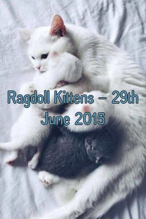 Anne Thomson Tells About Ragdoll Kittens – 29th June 2015   #meowpassion  #cats  #catoftheday  #dogs  #lovecats  #fluffykittens  #Cats  #Complete