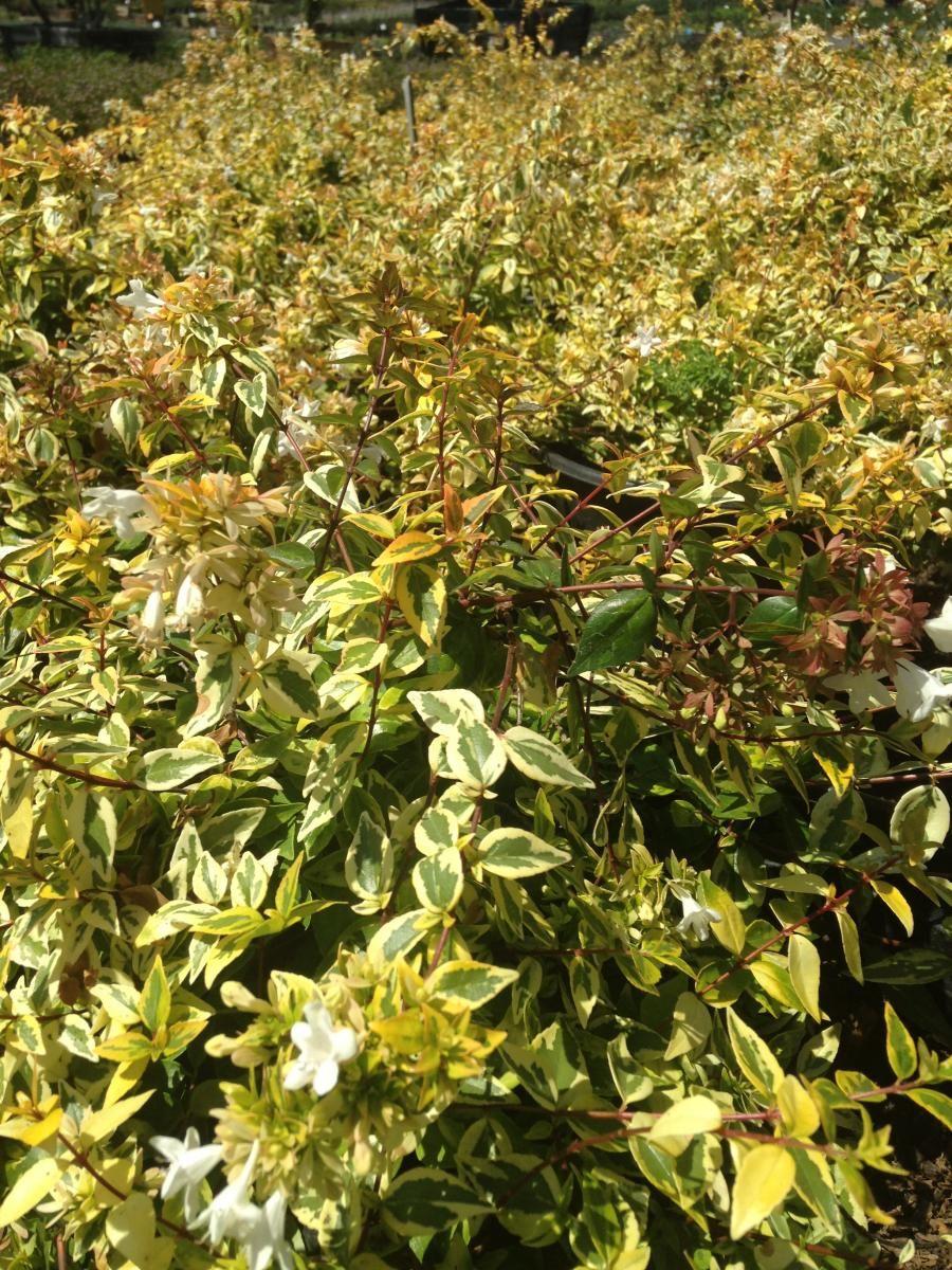 Abelia Francis Mason Idees Vir Tuin Garden Plants Garden Plants