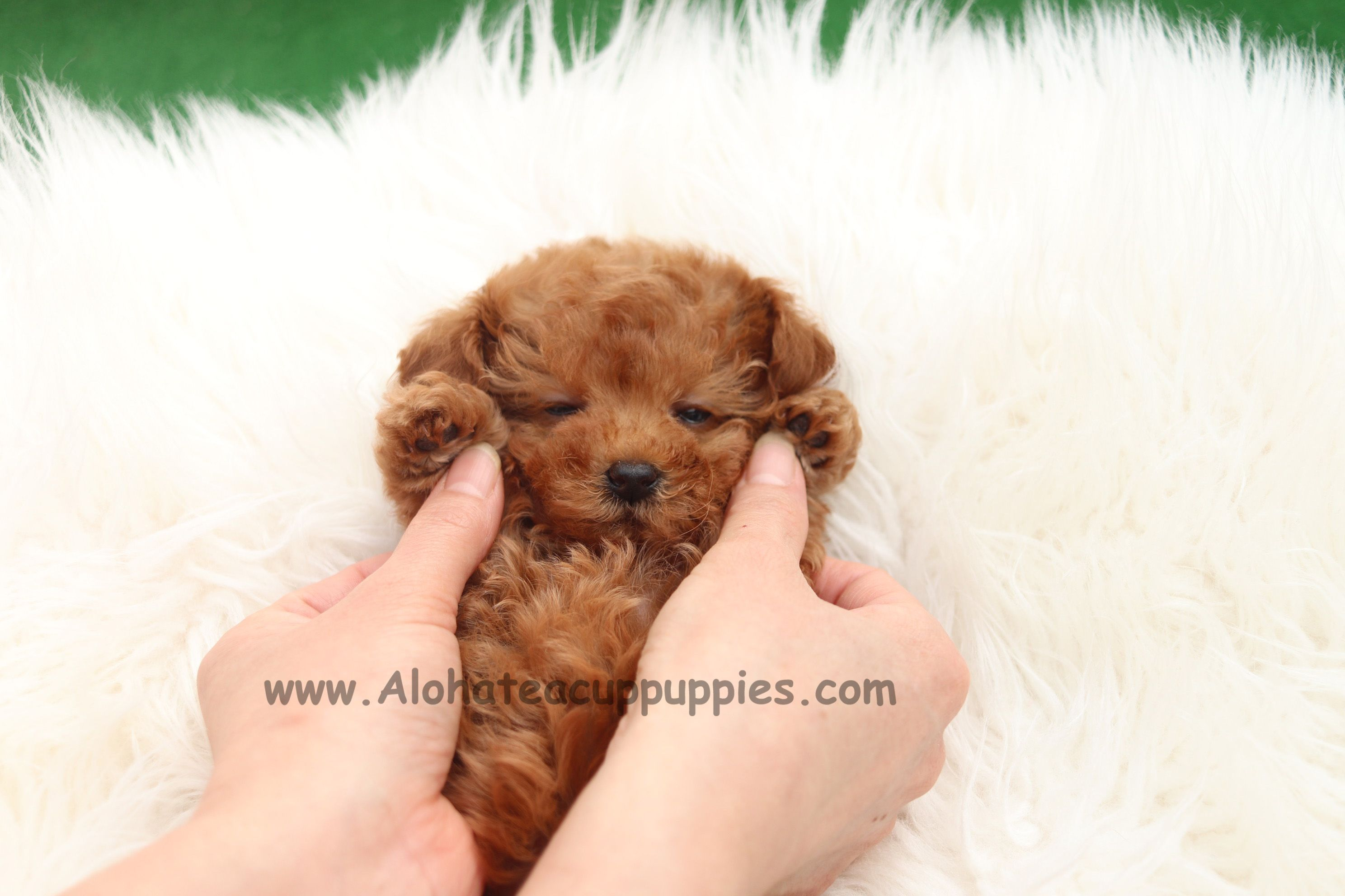 Sunshine Doodles Mini Goldendoodles Mini English Teddy Bear Golden