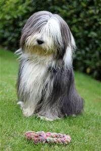 Mini Bearded Collie Bearded Collie Long Haired Dog Breeds Dog