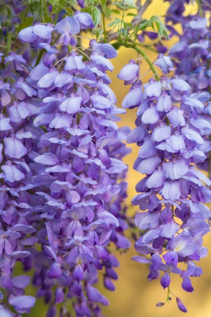 Wisteria Art Print By Saija Lehtonen Fine Art Photography Society6 Flower Garden Plants Flowers Photography Flowers Nature