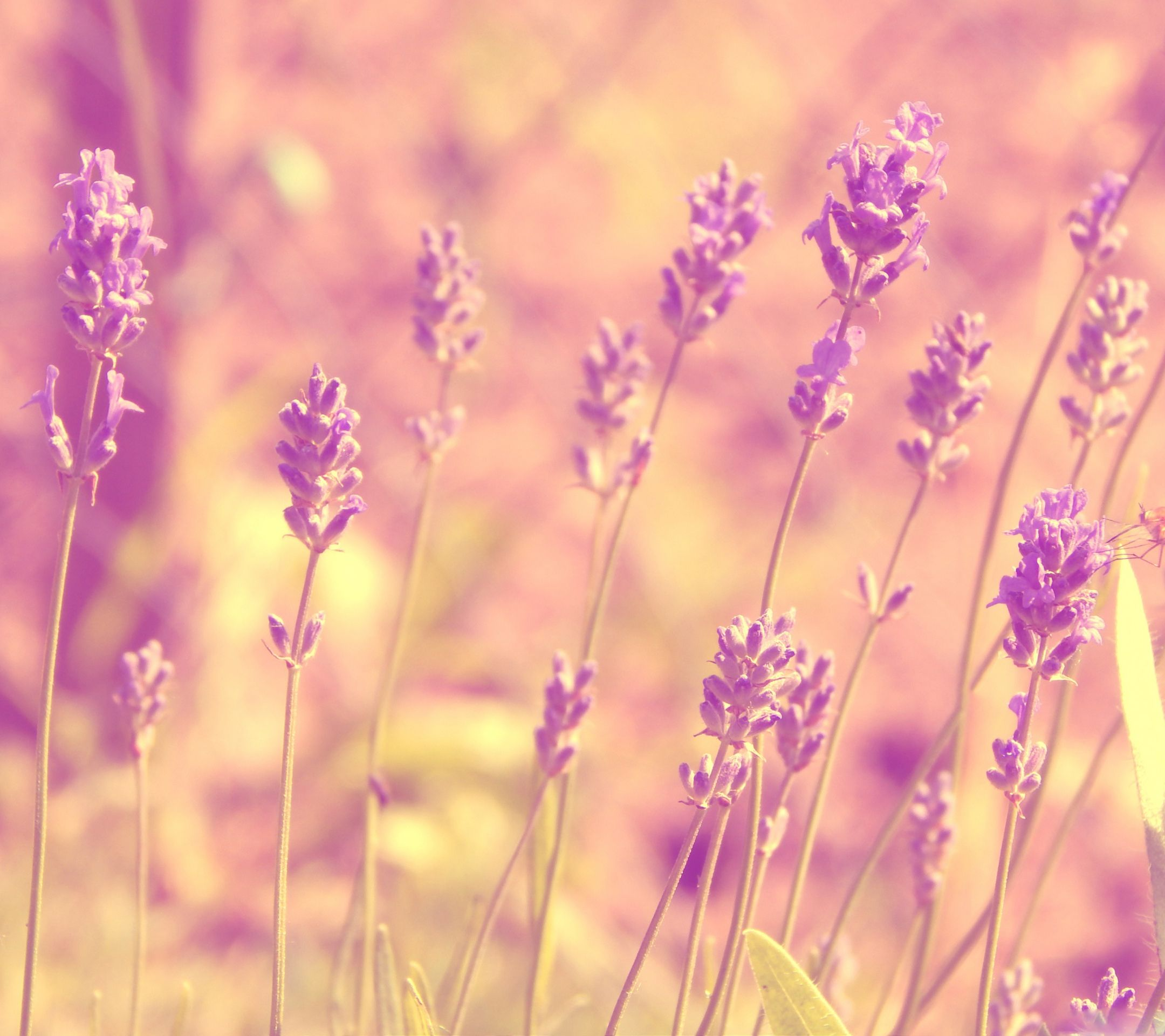 Lavender Tap To See More Pinky Girly Android Hd Wallpapers,