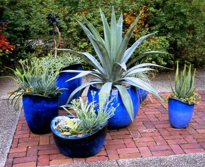 Blue Pots! Great Idea, Agave In Pots. Warning, Never Plant An Agave