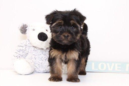 Yorkie Poo Puppy For Sale In Naples Fl Adn 31325 On Puppyfinder Com Gender Male Age 8 Weeks Old Yorkie Poo Puppies Yorkie Poo Puppies For Sale
