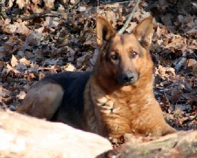 Testimonials Brag Page German Shepherds Rock Dogs Animals