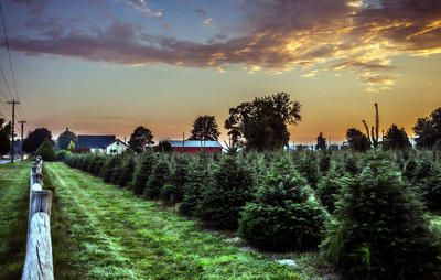 Here S Why Real Christmas Trees Are Better For The Environment Christmas Tree Farm Real Christmas Tree Tree Farms