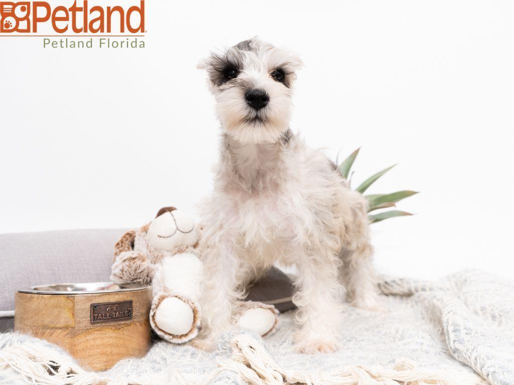 Petland Florida has Miniature Schnauzer puppies for sale