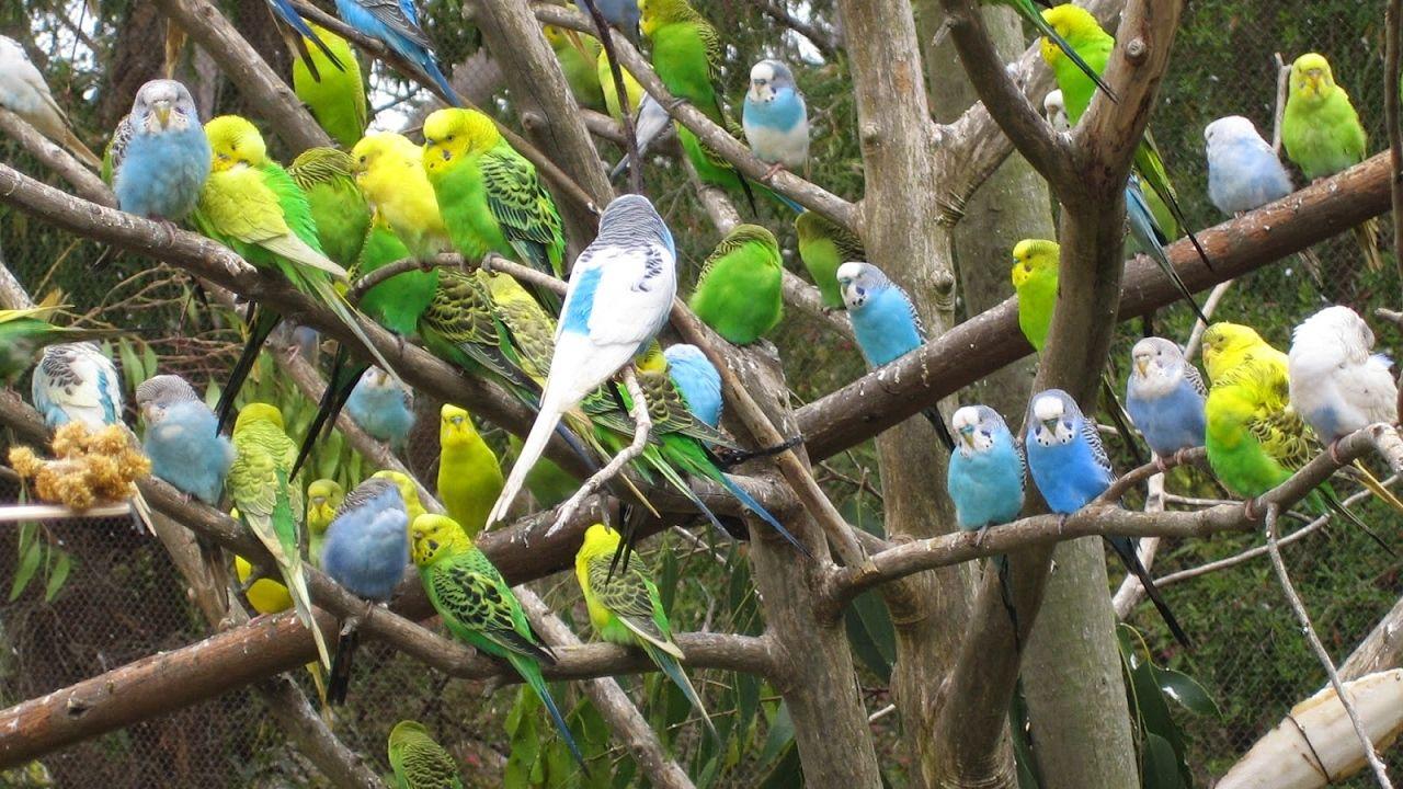 تغريد طيور الحب في الصباح الباكر Pet Birds Cute Animals Budgies