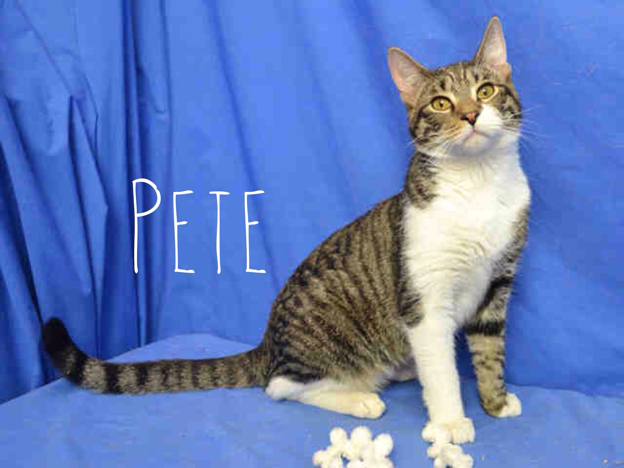 Looking for a new pet? Pete's your guy! kitties cats