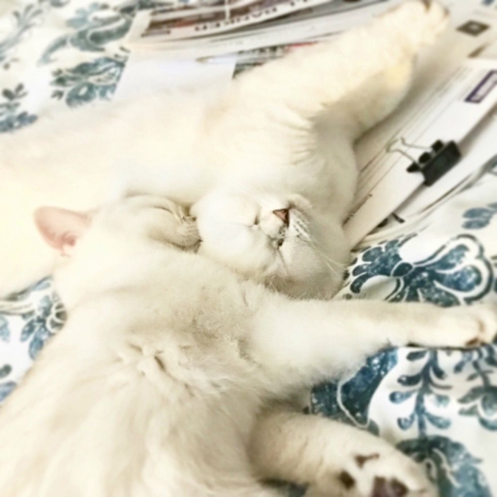 New litter l pure breed British Shorthair kittens, more