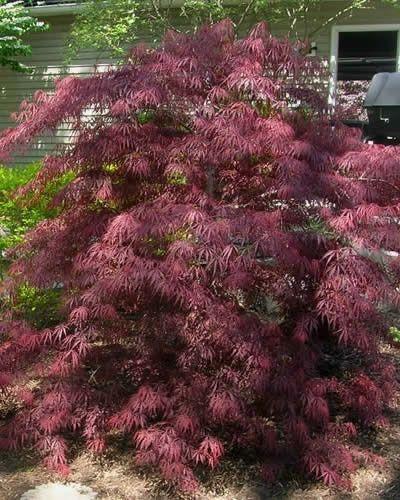 Acer Palmatum Var Dissectum Tamukeyama Japanese Maple Bauer