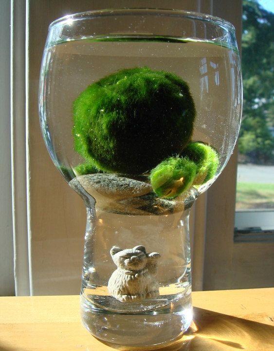 "I love Marimo and I want one with a cute glass ""aquarium"
