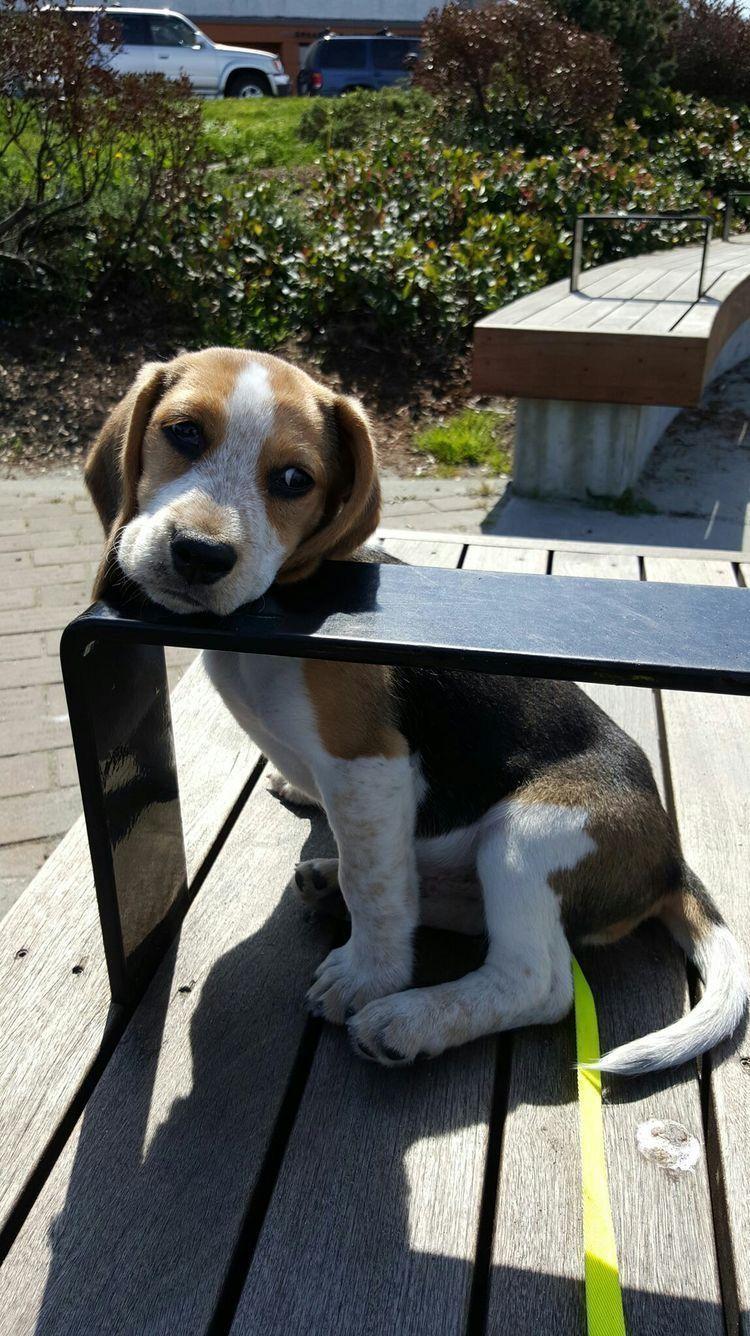 Oliviasavidge Beagle Dog Beagle Puppy Adoptable Beagle