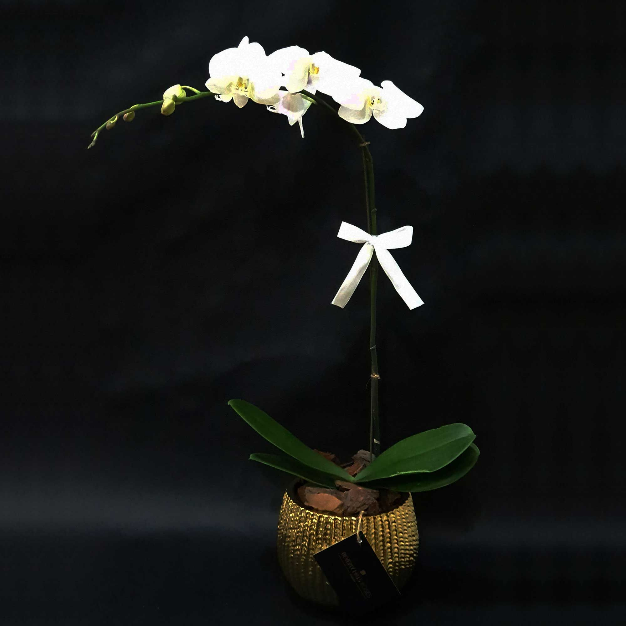 Buy Orchid Uae White Order Flowers Abu Dhabi Flower Deliveries Dubai In 2020 Buy Orchids White Orchids Flower Delivery