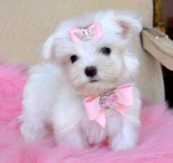 Tiny Teacup Maltese Too Cute 18 Oz At 9 Weeks Tiny Baby Doll