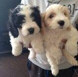 Cavachon Puppies For Sale Stoke On Trent Staffordshire Pets4homes Cavachon Puppies Cavachon Puppies