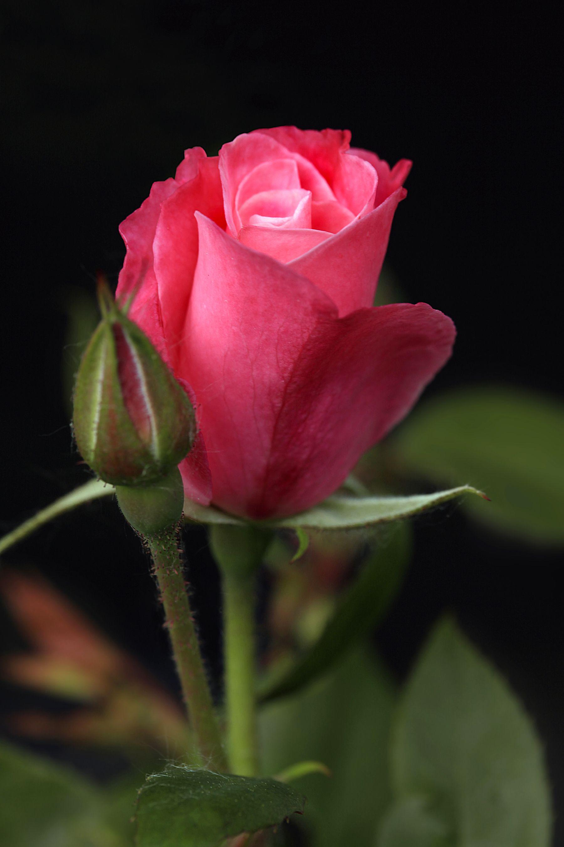 Macro Photography Budding Pink Rose Rozen Pinterest Macro