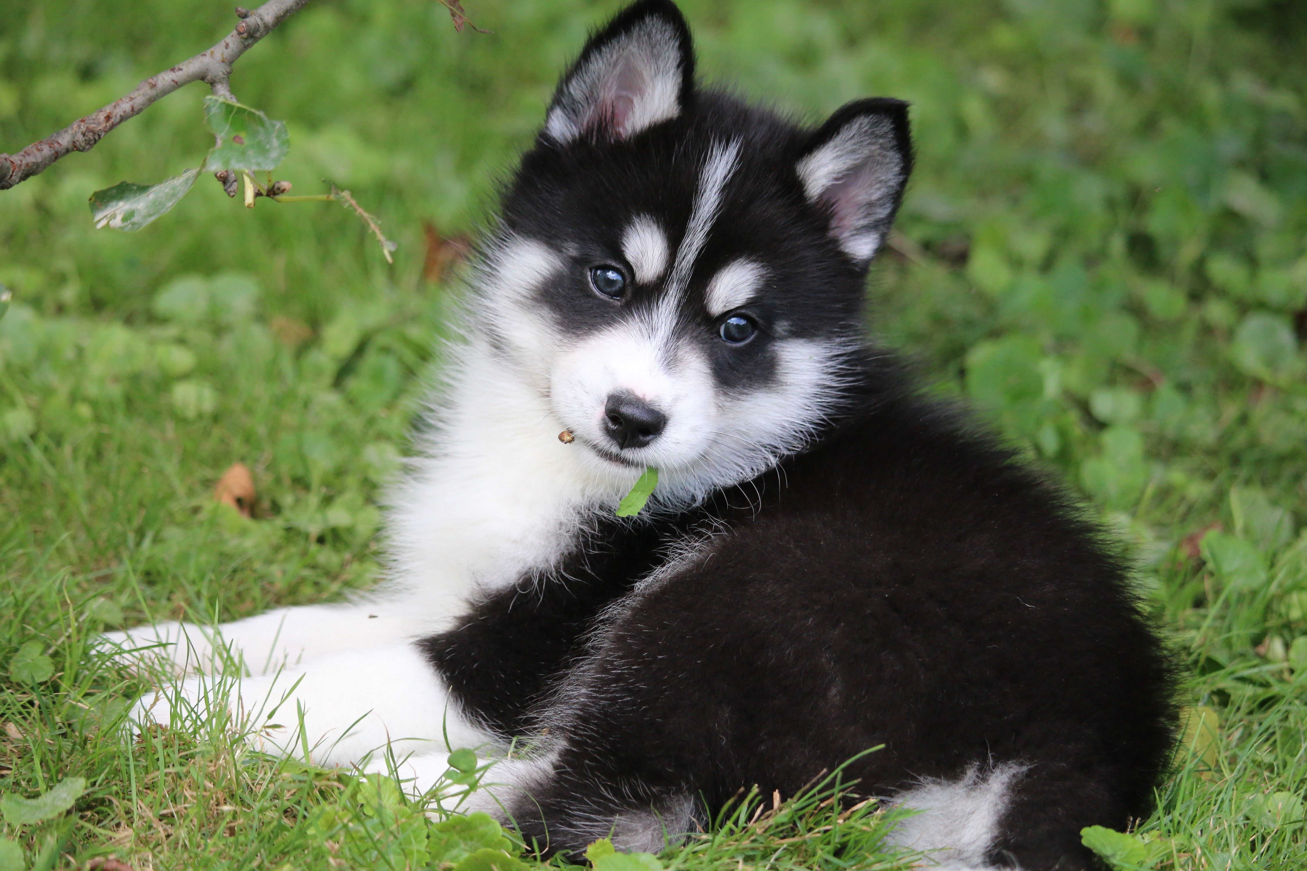 Pomsky Puppies for Sale (With images) Pomsky puppies