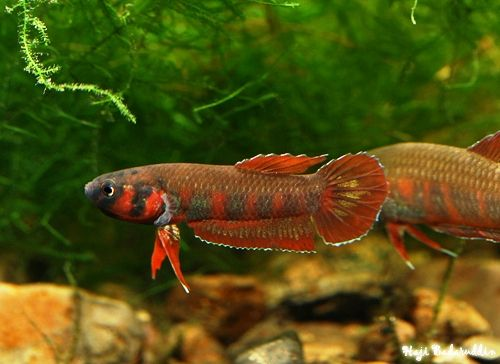 Betta rubra a different species of betta this one 39 s a for Different types of betta fish