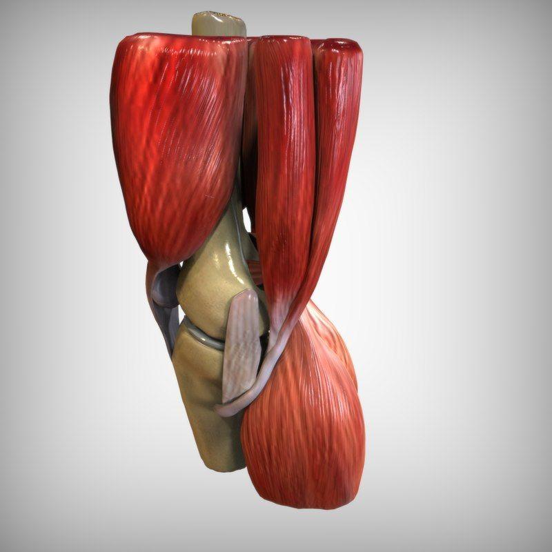 3d Model Human Knee Anatomy 3d Anatomy Pinterest Human Knee