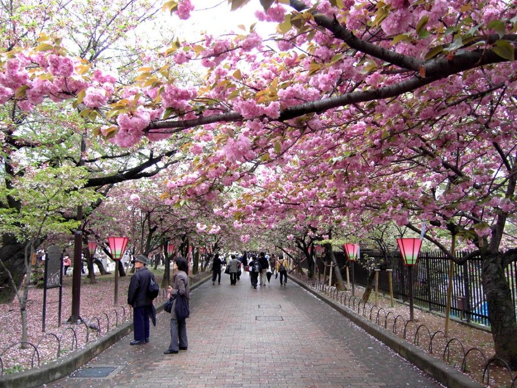 Beautiful Spring Cherry Blossoms Japan Best Place Vacation Du Lịch Hoa Anh đao Nhật Bản