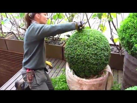Gworld 001 Topiary Care And Maintenance Of Buxus Sempervirens
